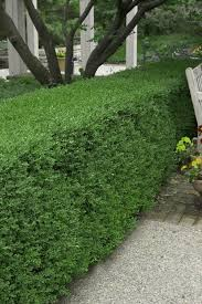 Buy Wintergreen Boxwood Free Shipping 1 Gallon Plants For Sale Online From Wilson Bros Gardens