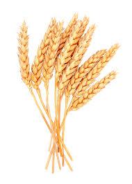 Wheat Cartoon 2443*3410 transprent Png Free Download - Food Grain ...