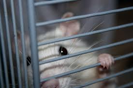 Disease caused by seoul virus occurs. Seoul Virus Hits Illinois Pet Rats Peoria Public Radio