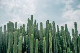 20 Best Cactus Species For Your Indoors Outdoors Cactus Garden Cactusway