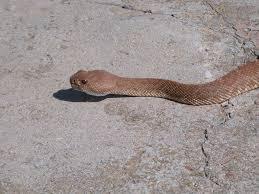 Rattlesnakes In California