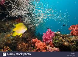 La doncella dorada a lo largo de arrecifes de coral con corales ...