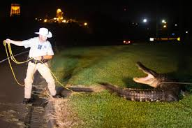 Alligator Takes The Right Of Way On Main Street W Video Local News Victoriaadvocate Com
