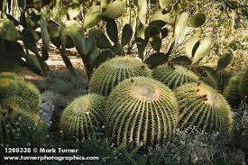 1208338 golden barrel cactus w ly