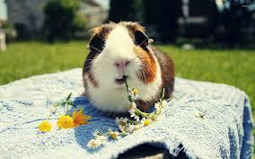 guinea pig eating daisies wallpaper