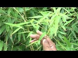 Bamboo Growing 101 How To Grow A Bamboo Fence Youtube