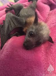 Baby bat: these things are just the cutest little fur birds ...