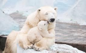 white polar bear carrying baby bear hd