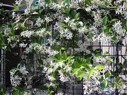 Jasmine Tarnmoor Fence Plants Climbing Plants Star Jasmine