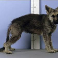 pituitary dwarfism in german shepherd dogs