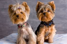 yorkie grooming styles pictures