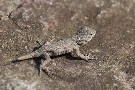 My Child Caught A Fence Lizard What Should I Do C S W D