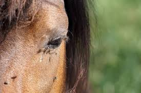 do homemade horse fly sprays work a