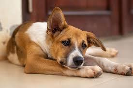 bladder stones in dogs small door