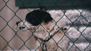 Guard Dog On A Chain Behind The Fence On The Backyard Barks At People In Winter Stock Footage Video Of Cute Grid 173504438