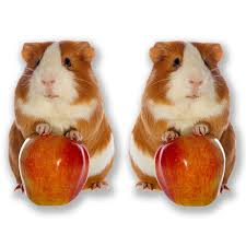 2 X 10cm Cute Ginger Guinea Pig Stickers Buy Online In Guernsey At Desertcart