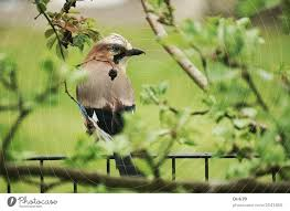 Jay On The Garden Fence A Royalty Free Stock Photo From Photocase
