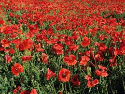 add colorful poppies to your garden