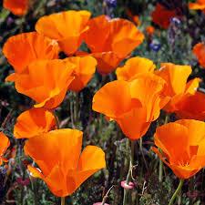 outsidepride california poppy