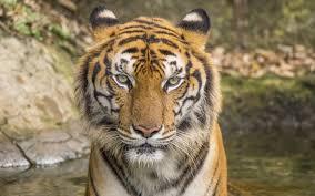 تحميل خلفيات النمر الحياة البرية صورة الحيوانات الخطرة النمور