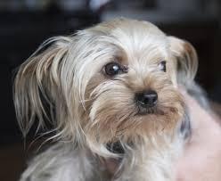tiny spokane valley yorkshire terrier