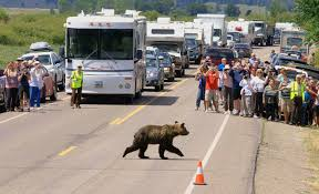 Yellowstone superintendent fears fewer visitors will see grizzlies | WyoFile