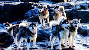 dogs husky wallpaper 141586