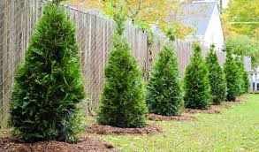 Best 3 Plants For Privacy Fences Green Side Up Garden Gifts