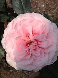 Garden Rose Pink Mayra - Garden Rose - Roses - Flowers by category   Sierra  Flower Finder