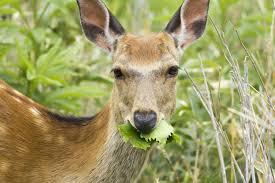 Non Lethal Deer Deterrents
