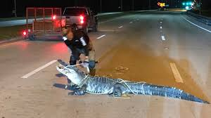 Florida Gators Caught Climbing Fences Swimming Across Road Cbs Miami