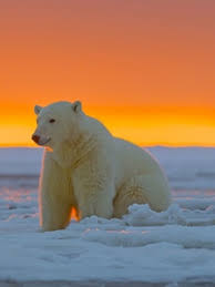 polar bear wallpaper hd 225x300