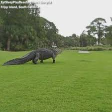 7 Foot Alligator Scales Backyard Fence Gma
