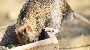 A Guide To Kit For Controlling Rats Mice And Squirrels Farmers Weekly