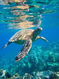green sea turtle mural murals your way