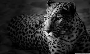 hd wallpaper jaguar high definitions