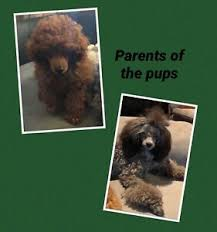 toy poodles pedigree dogs qld papers