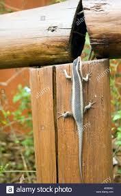Striped Skink Mabuya Striata Climbs Wooden Fence Kwazulu Natal Stock Photo Alamy