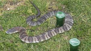 Snake Season Reptile Catcher Mark Pelley Raises Doubts Over Repellers Fencing Leader