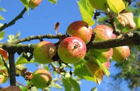 Æbletræ Pris - Mere end 83 æble træer - Find de bedste priser hér