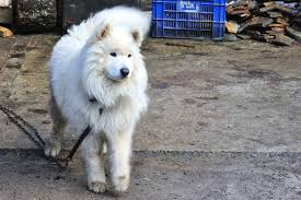 Free Images : vertebrate, dog breed, trigrad, samoyed, alaskan malamute,  dog like mammal, wolfdog, carnivoran, dog breed group, greenland dog, west  siberian laika, dog crossbreeds, eurasier, german spitz 3624x2416 - -  404090 -