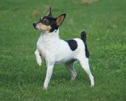 toy fox terrier puppies ready nov 2019