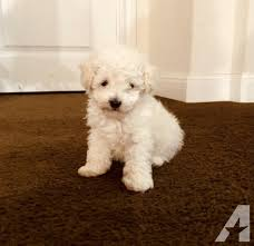 toy poodle female pets and s for