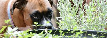 8 dog friendly plants to grow in your