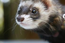 diy ferret toys s mom me