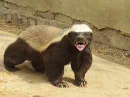 most fearless creature is the honey badger