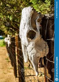 Sun Bleached Large Animal Skulls On Fence Posts In Desert Stock Photo Image Of Horses Large 188461940