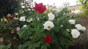 صباح الورد والياسمين صباح المحبة والسعادة صباحكم أجمل من جمال