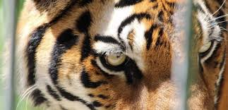 International Tiger Day 6 Kinds Of Tiger Abuse You Can Help Stop