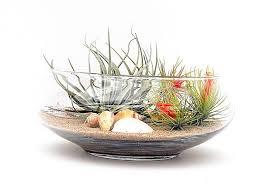 air plants in a clear glass bowl air